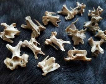 Bones - Real Vertebrae - Size Small - Lot of 20