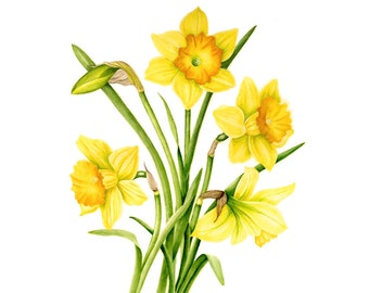 A welcome sign of spring, a Bunch of Daffodils - Watercolor Painting