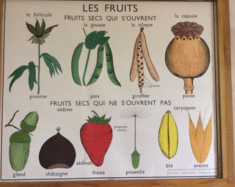 Stunning Vintage French School double-sided poster of fruits and seeds