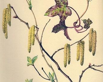 1910s Antique Ivy Hazelnut Catkins, flower art print, printed 1970, woodlands flower 8 floral bookplate prints, botanical illustration