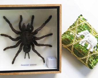 Real Big Huge Mounted Tarantula Spider Wood Box Boxed Display Eurypeima Spinicrus Taxidermy Entomology Insect Bug Framed Gift Arachnology