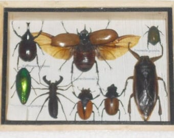 Real Mixed Beetle Cicada Insect Boxed Framed Taxidermy Display Wood Box For Collectibles /S08TT