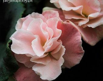 Pale Rose Begonia Photograph
