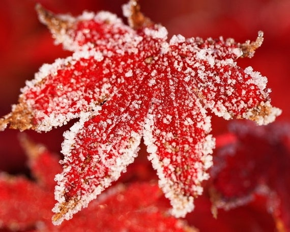 Japanese Maple Leaf With Frost - Fall Wall Art - Autumn Leaves - Red and White Leaf Wall Decor - Botanical Print