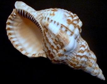 "Caribbean Triton 8 - 9""  sea shells Triton's trumpet shells beach wedding decor unique ocean theme"