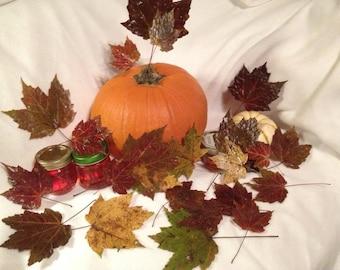 Pressed Fall Maple Leaves SALE!