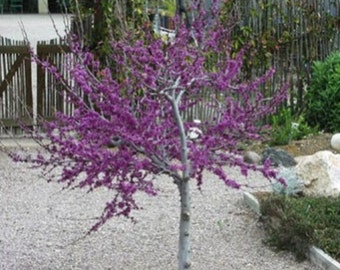Western Redbud Tree Seeds, Cercis occidentalis - 25 Seeds