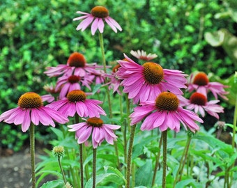 Purple Coneflower Seeds - 1 oz
