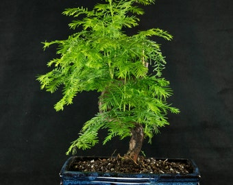 dawn redwood bonsai tree easy to grow your own office decor 5 seeds add bonsai office interior