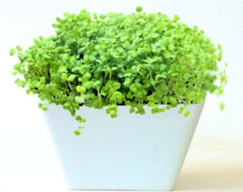 DIY Microgreens Garden Kit in Modern Square White Porcelain Planter complete kit with Organic Soil Mix and Seeds - Vegan Vegetarian Gourmet