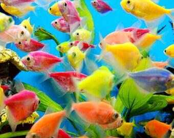 Freshwater Aquarium - Tetra Fish - Color Mixed Skirts Tetra - Freshwater Fish - Tropical Fish - Wall Decor - Fish Photograph - Nature Art