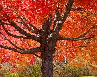 Fall Maple, red, tree, wall art, photography, fall, New Hampshire