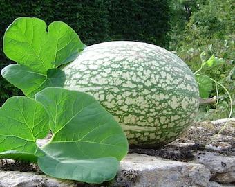 Shark Fin Squash/Melon, Gom bo  Seeds - AkA,Malabar gourd, Seven Year melon.
