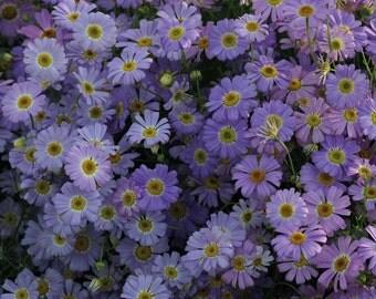 Brachycome iberidifolia, 'Brachy Blue' Swan River Daisy,award-winning variety