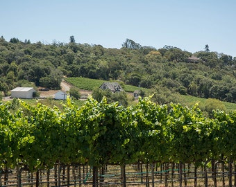Vineyard Sebastopol, Sonoma, California, wine, grapes, green decor, rustic decor, vineyard art, wine decor, home decor, green decor