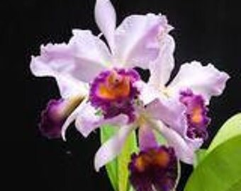 Dinard Blue Heaven Large Orchid Plant