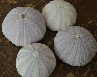 Purple Sea Urchins 2-3 inches | 1 Piece