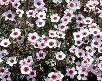 Flax-   Bright Eyes- 100 Seeds