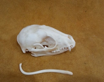 raccoon skull with baculum