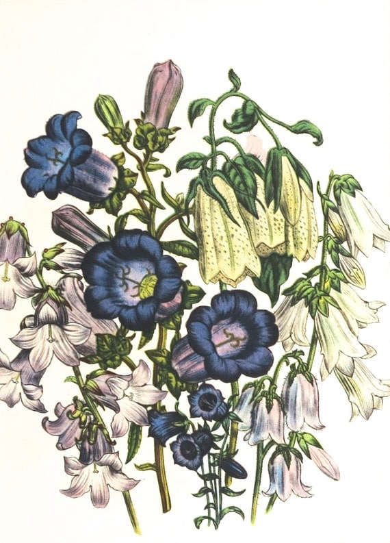 1948 print by Jane Loudon, Campanulas, purple, lilac, cream, print taken from botanical plate, matted for framing, 8 x 10 inches