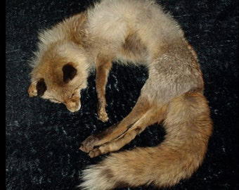 unique fox fur stole with mounted head taxidermy soft mount sculpture pelt skin cool cabin decor collar wrap mouth can open
