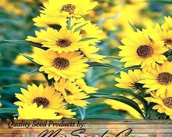 MAXIMILIAN PERENNIAL SUNFLOWER seed - Over 8 Feet Tall - Taller Than Mammoth Sunflower