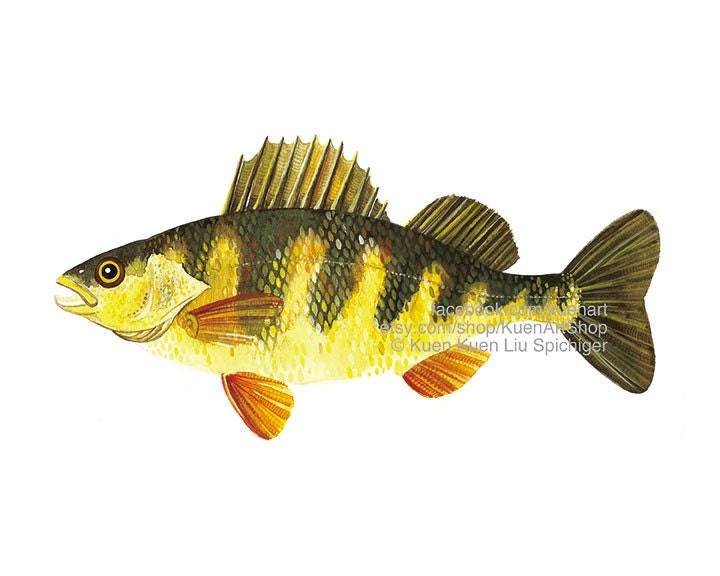 Yellow Perch Art Print Amp Original Freshwater River Fish