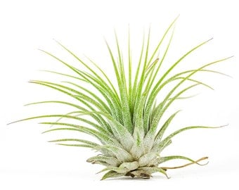 1 ionantha tillandsia airplant