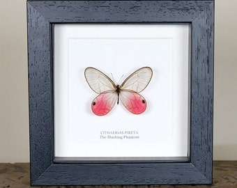 The Blushing Phantom Butterfly in Box Frame (Cithaerias pireta) Real Mounted Butterfly