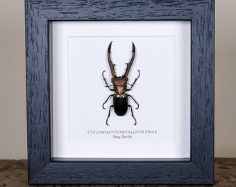 Stag Beetle in Box Frame (Cyclommatus metallifer finae)