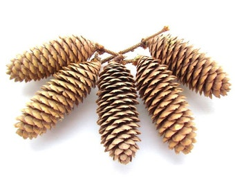 20 Large Norway Spruce Pine Cones /  Real Pine Cones