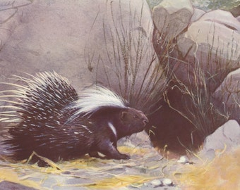 Crested porcupine original 1922 art print - Natural history wall decor, hystrix - 94 years old German antique lithograph illustration (C075)