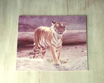 Animal Photography, Vintage Photos, Vintage Photographs, Vintage Photography, Vintage Pictures, Tiger Art, Vintage Prints