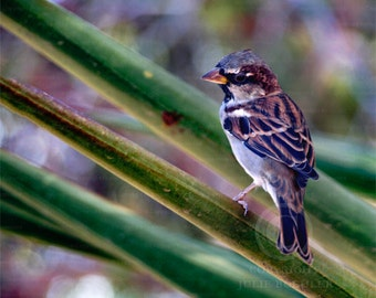 Photo: Sparrow 1, Perched, Birds, Nature Photography, Color, Wall Decor photo, Fine Art Photography Print [grn] [brn]