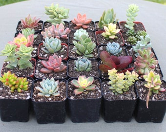 Group of 9 Colorful Succulents in 2 inch pots, Succulent Plants, Hens and Chicks, Terrarium Plants, Bulk Succulents