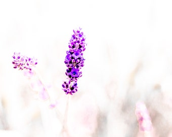 Lavender flowers in the square