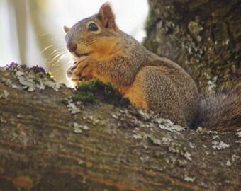 SQUIRREL way up a tree Oregon wildlife..mounted print!!!