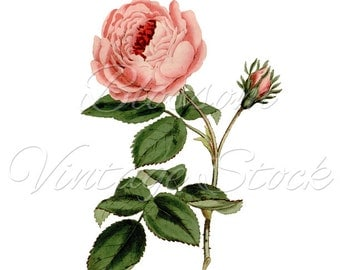 ROSE Digital Image Botanical Prints Shabby Chic Rose Clipart- INSTANT DOWNLOAD, Wedding Clipart, Printables - 1611