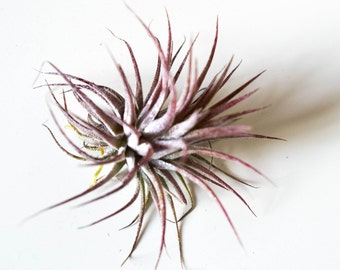 Tillandsia Ionantha Fuego // Air Plant // For Wire Quote Holder