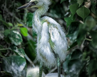 Baby Egret, egret photography, heron photography, beach decor,  bird photography, nature photography, wildlife