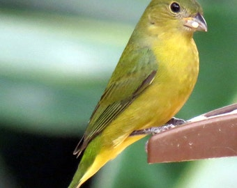 Painted Bunting, Female, often called a 'Greenie' Photograph.
