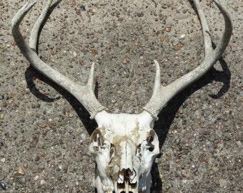 Deer Antlers, Coat Rack, Texana Deer Antlers authentic Texas 8 point Deer Skull & Antler Trophy Mount Retro 80's Rustic Primitive Man Cave