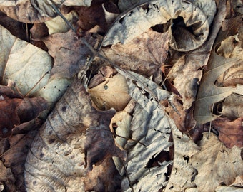 """Nature Photography, Rustic, Autumn Leaves, Forest, Woodland, Neutral Earth Tones, 6x9 or 8x12. """"Fallen No.2""""."""