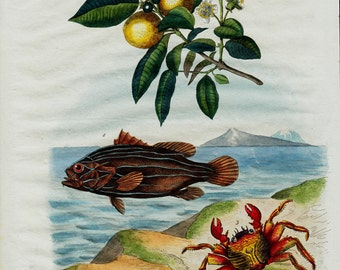 1838 Antique print of natural history, flora and fauna of the coast, lemon tree,crab, shells, fish, original antique 179 years old