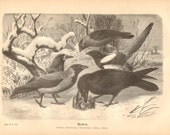 1878 Corvids, Corvidae, Western Jackdaw, Rook, Carrion Crow, Eurasian Magpie, Common Raven Original Antique Engraving