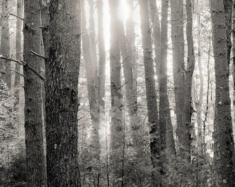 White pines at Big deep, 8x10 fine art black & white photograph, nature