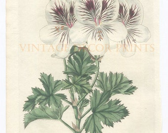 Botanical Print of Geranium, 1827 Robert Sweet Original Hand Coloured Engraving of a Pelargonium, Beautiful Decorative Botanical Engraving