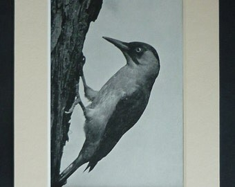 1950s Vintage Green Woodpecker Print, Woodland Decor, Available Framed, Nature Art English Natural History Gift for Bird Lover, Tree Artwork