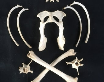 An unusual collection of animal bones from English fox, hare and deer.
