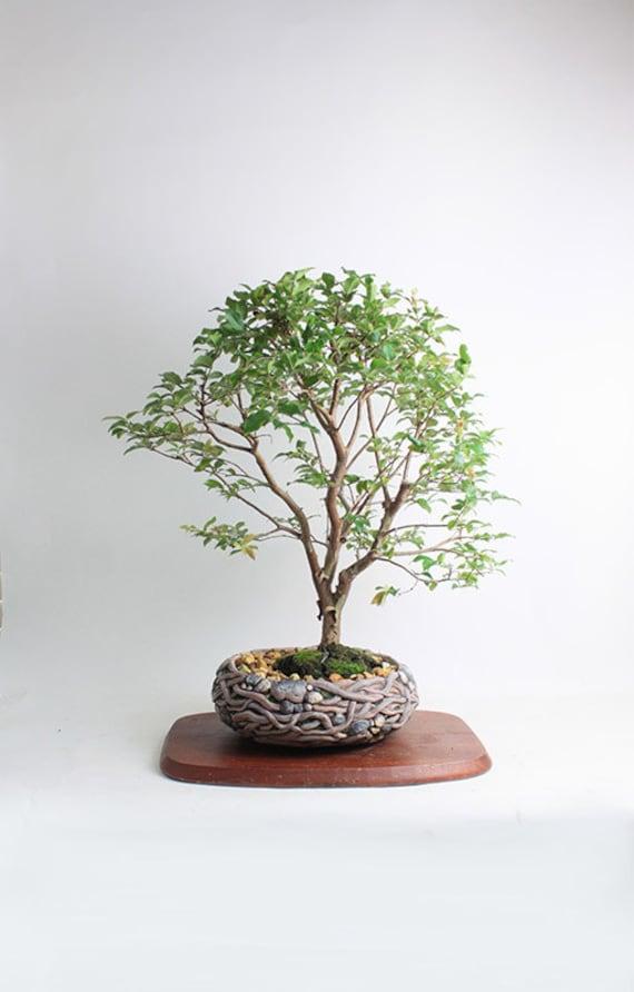 Jabaticaba bonsai tree fall fruiting collection by - Cuidado del bonsai ...